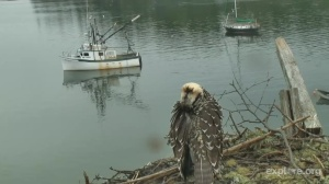 last osprey